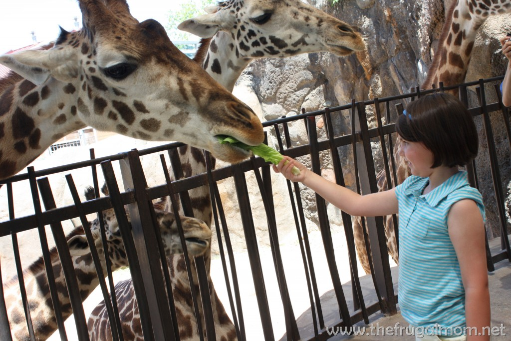 houston zoo giraffe feeding