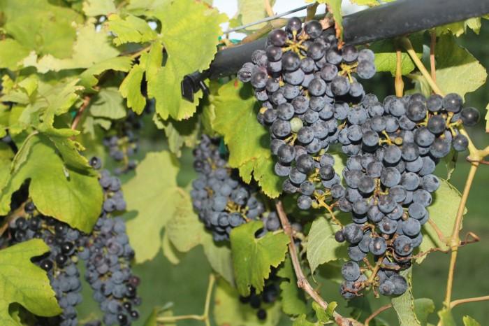 Messina Hof winery