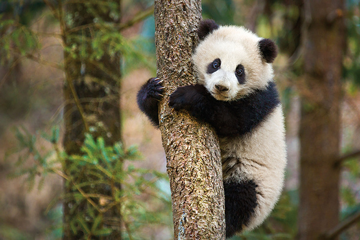 Born-in-China-Giant-Panda