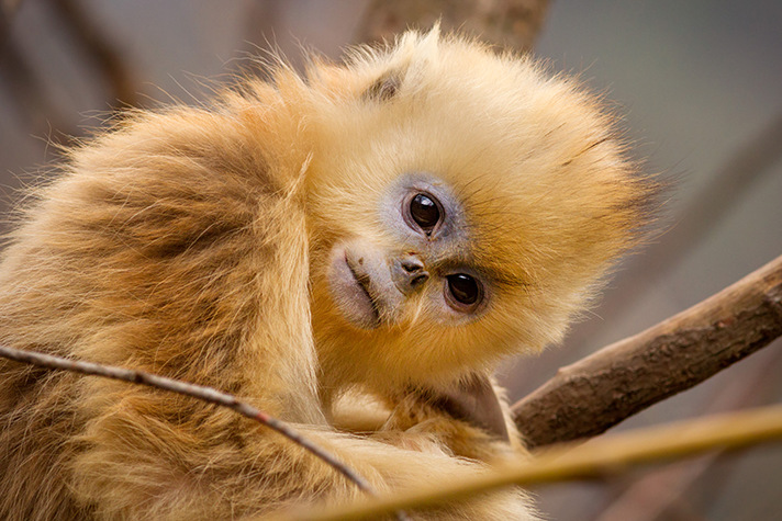 Born-in-China-Snub-Nosed-Monkey