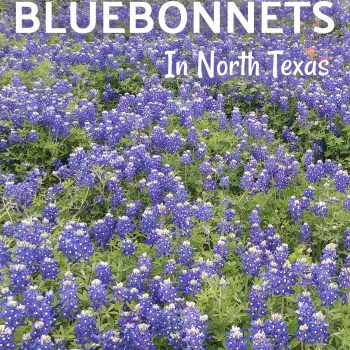 Where To Find Bluebonnets In North Texas