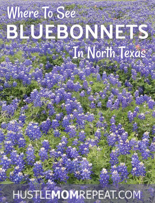 bluebonnets 2